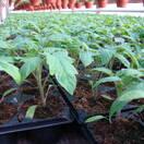 Продажа рассады помидоров в санкт петерб