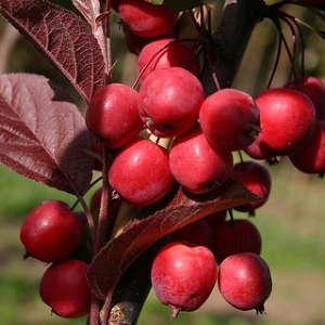 Декоративные яблони саженцы -